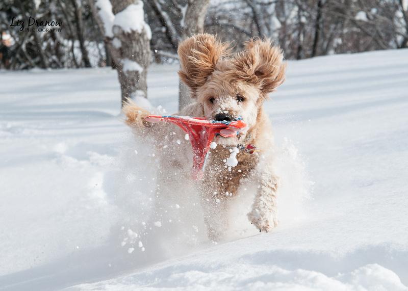Park City Goldendoodles Enjoying Winter