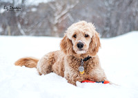 Park City Goldendoodles Enjoying Winter