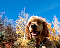 pet photography, dogs, Goldendoodle, pet portraits, park city utah, dog photography