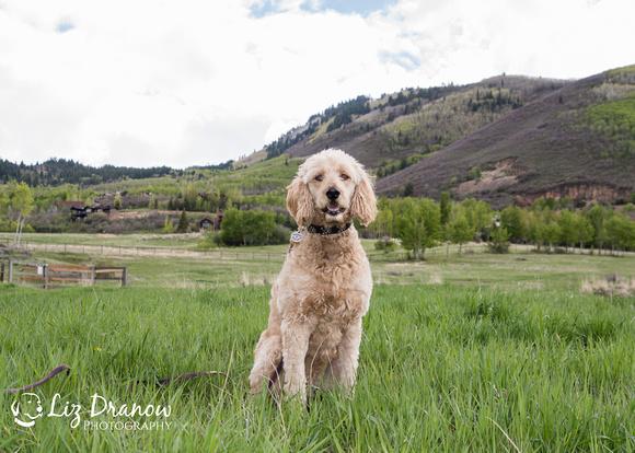 Happy Goldendoodle in Park City Utah