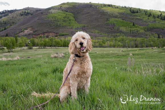 Park City Utah Goldendoodle